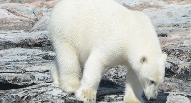 The polar bears were the showstoppers