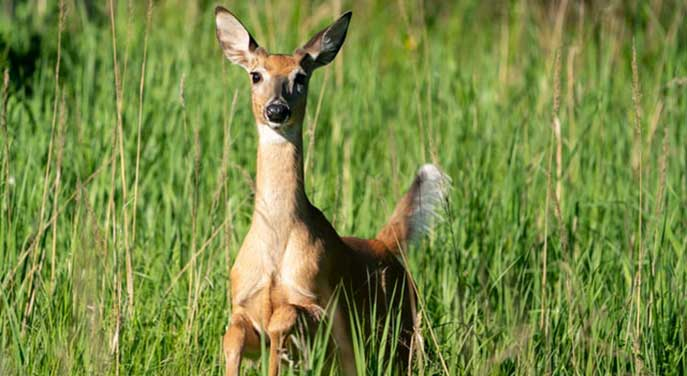 Preventing transmission of chronic wasting disease in white-tailed deer