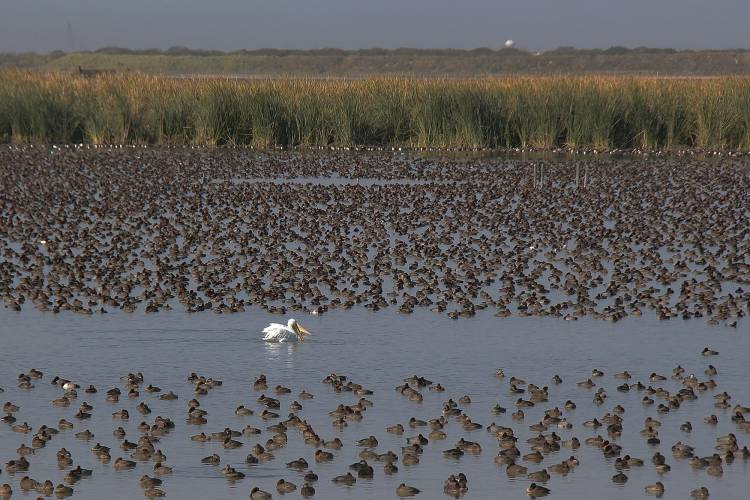 A solitary pelican amongst thousands of ducks